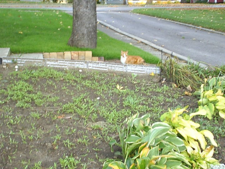 Pumpkins First Appearance in October of 2007.  He was a stray and we were unsure about taking in another animal.  I put some food and water out on the porch and figured if he was still there the next day, we'd take him to the vet.  He was and we did.  He had been previously fixed & declawed, but some cruel owner decided they were no longer interested in having him around.  Due to the nature of his injuries when he was checked, it was determined he was most likely thrown from a moving vehicle and landed on the side of his head.  After a few weeks of eye drops, ear drops & medicine he looked, felt and smelled much better.  He was obviously a strong and brave cat...